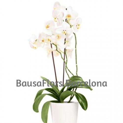 Orquídea Blanca plata