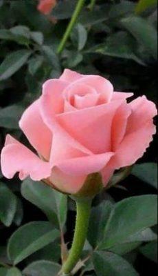 Ramo Funerario 7 Rosas Rosadas, Rosas para el Tanatorio, Ramo de Flores para dar Condolencias, Ramos Funerarios para Barcelona, Flores para Difuntos