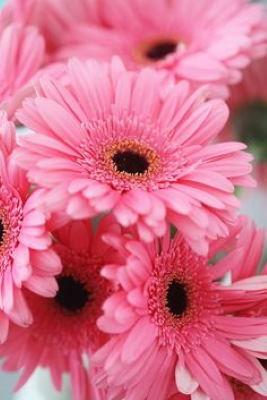Gerberas de color rosa