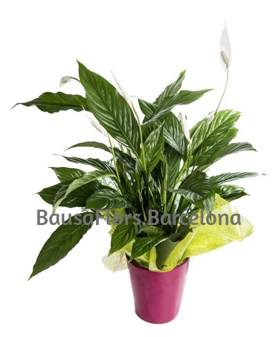 planta blanca
